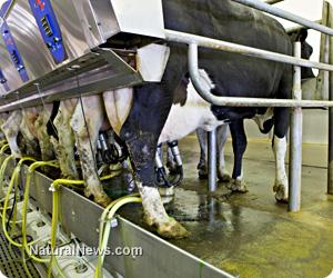 Dairy factory farm