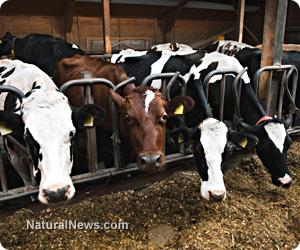 Super cows