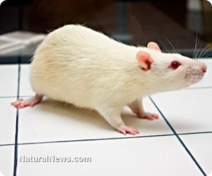 GMO rat study