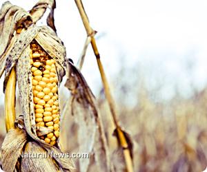 GM maize