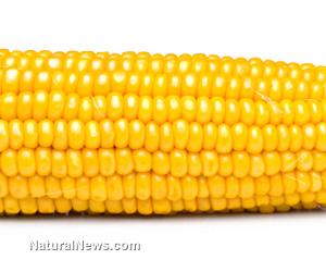 GM corn