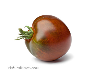 GM purple tomato