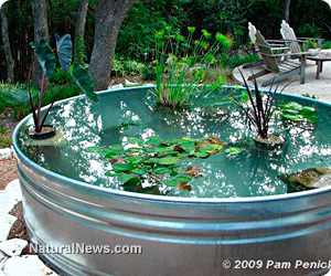 Revitalize your backyard water garden with spring pond for Coy pond maintenance