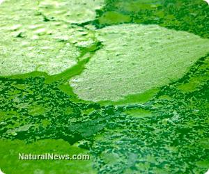 Micro-algae