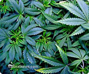 Legalized marijuana possession