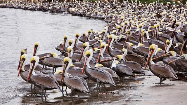 California pelicans