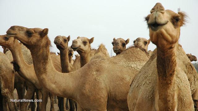 Camel''s milk
