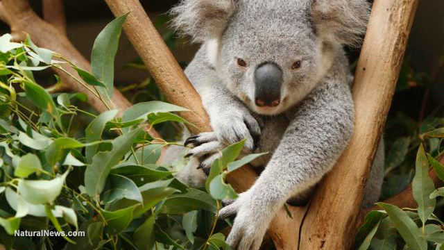 how to get chlamydia from a koala