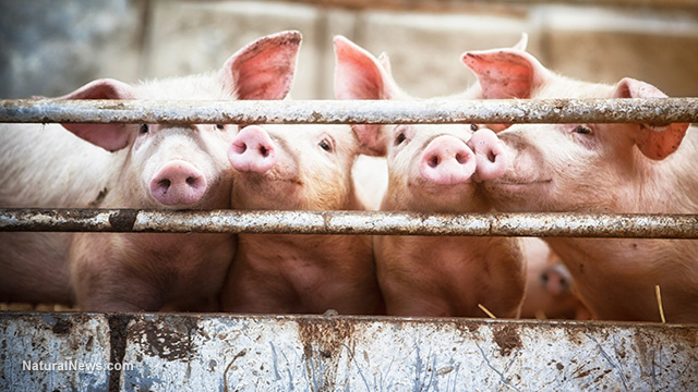 Glyphosate found to create 'mutant' offspring when fed to pigs - cranial deformations, missing eyes and transgender organ development