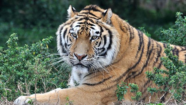 Wild tiger populations