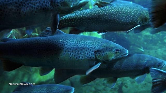 Intersex fish