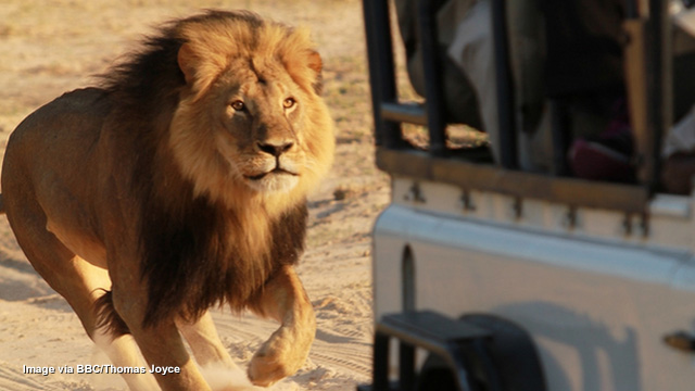 Death-loving dentist kills Cecil the Lion after luring national icon from conservation area - sign the petition to extradite Dr. Palmer to Zimbabwe!