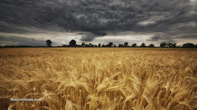 GMO crops