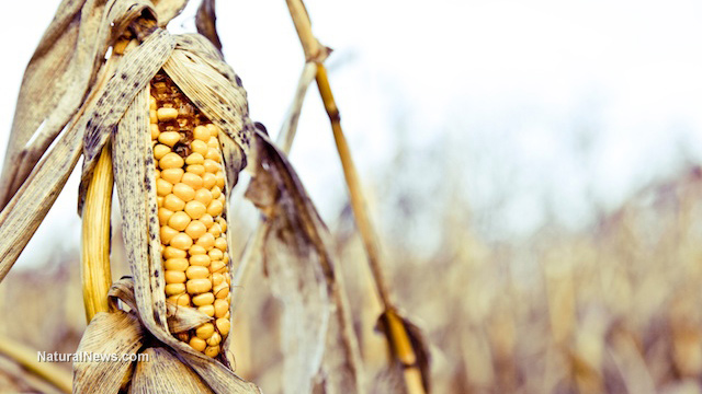 Bt toxin engineered into GM corn no longer works against pests, study finds
