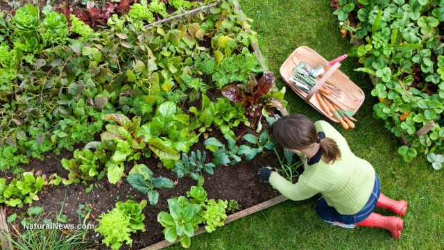 How gardening can help your immune system NaturalNewscom