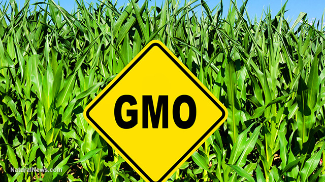 genetically modified crops Report looked at more than 900 studies on the impact of genetically engineered  crops and food products.