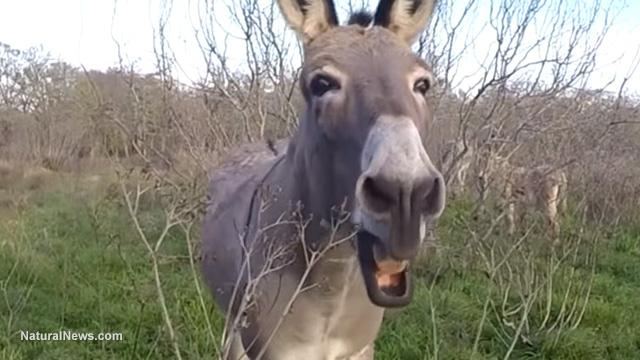 Donkey duet
