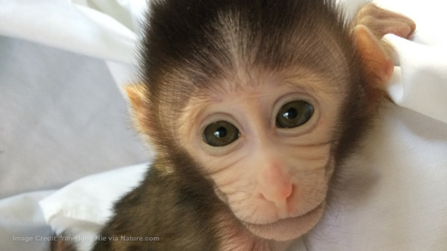 Genetically engineered monkeys