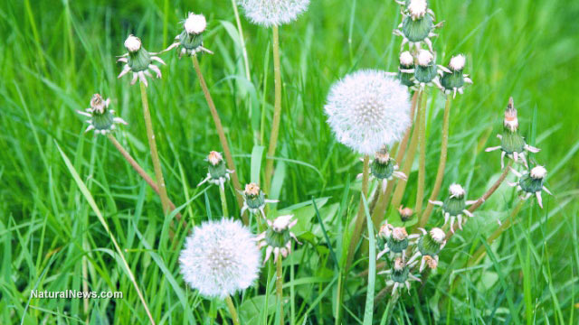 Dandelion root extract found to kill leukemia cells, prostate cancer cells and chemo-resistant melanoma