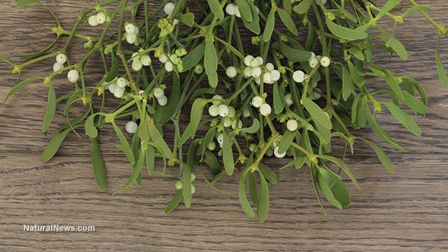 Mistletoe extract