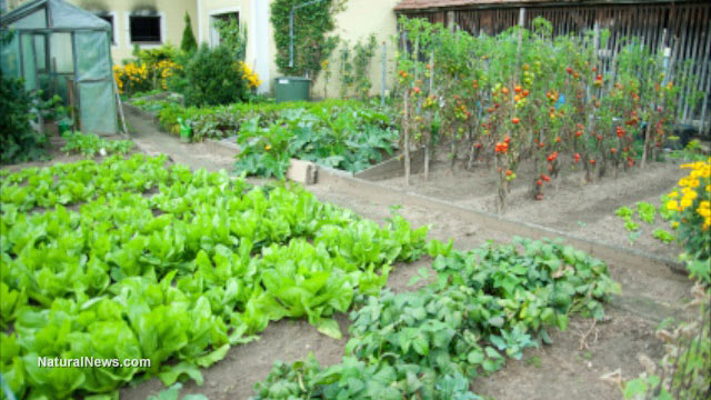 Florida couple forced to destroy organic front-yard veggie garden ...