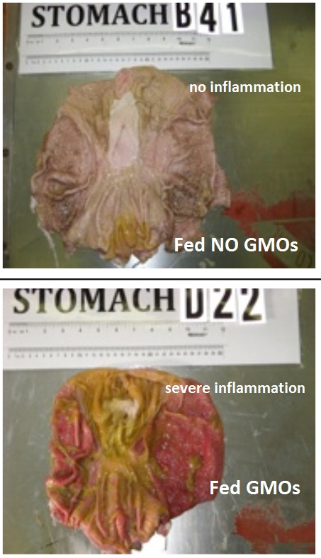 GMO feed turns pig stomachs to mush! Shocking photos reveal severe damage GMO pig intestines inflammation