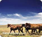 Cloned horses