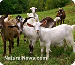 Goat''s milk