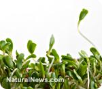 GM alfalfa