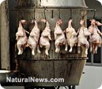 Chicken factories