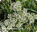 Backyard weeds