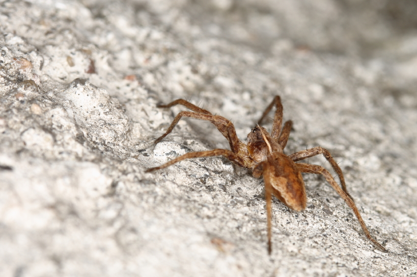 Image: Could venom from an Irish spider be the cure to many diseases?