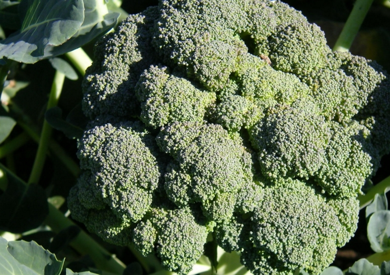 Image: Compound found in broccoli, cabbage and avocado could slow down aging