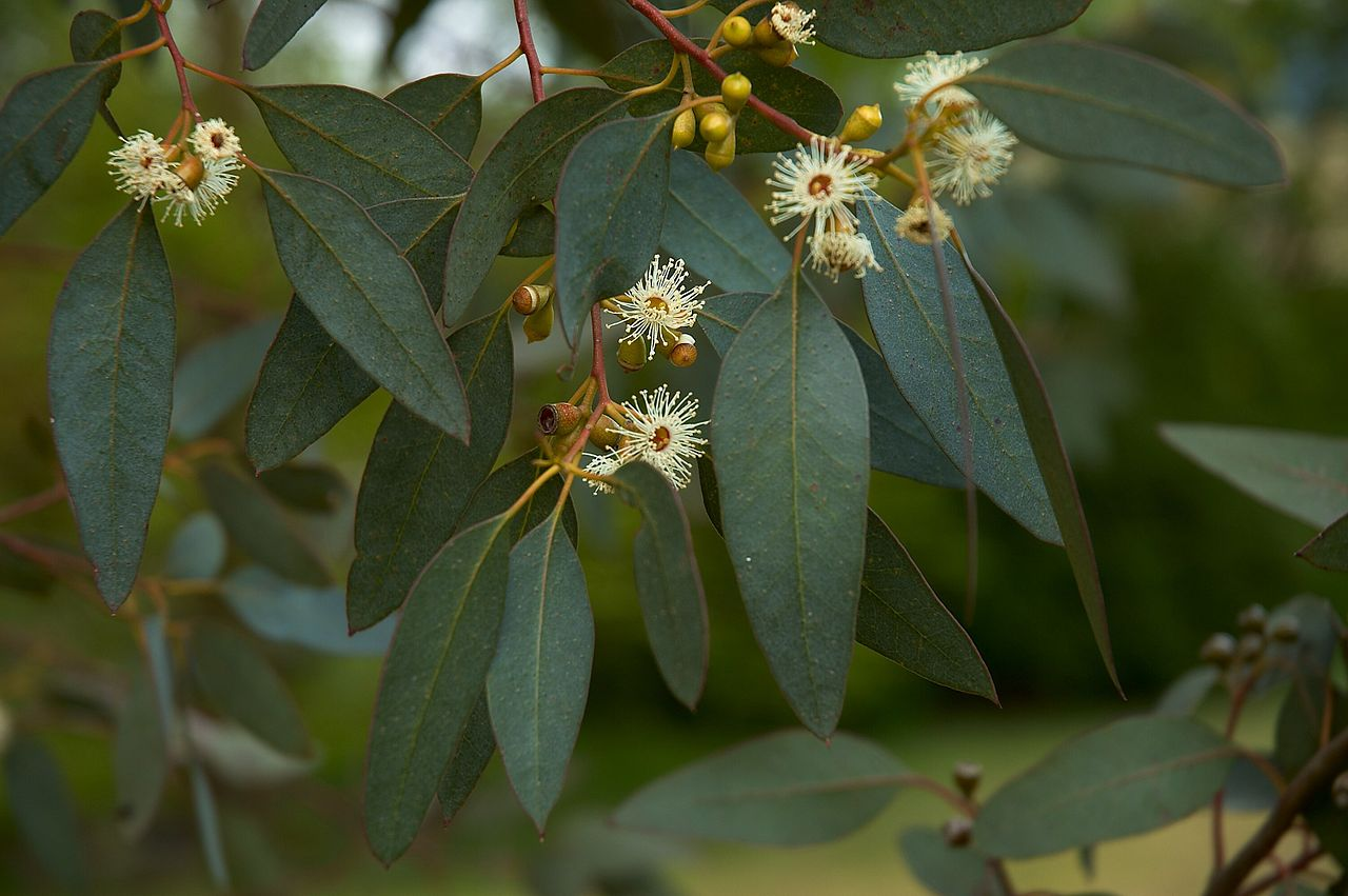 Image: Top 5 ways you can use Eucalyptus to treat diseases: chicken pox, influenza, and more