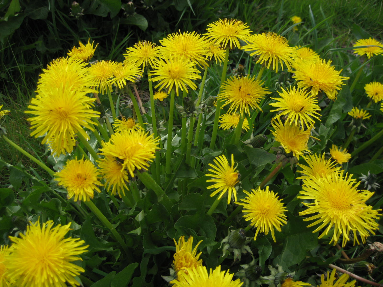 Image: Science confirms the anti-inflammatory effects of a compound found in dandelions