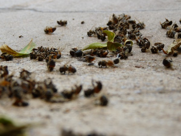Image: Thousands of dead bees wash up on Florida beach