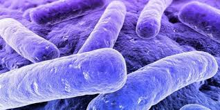 Image: Study: E.coli grows more powerful when given antibiotics