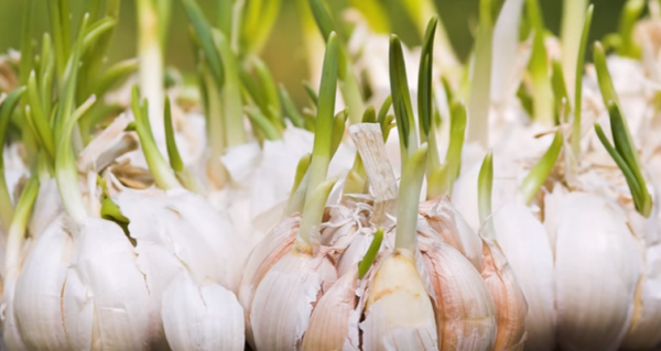 Image: How to grow garlic from a single clove