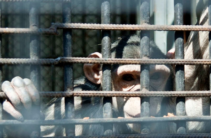 Image: Even chimpanzees want to be free: Scientists stunned as chimps murder their own tyrannical leader (then eat him)