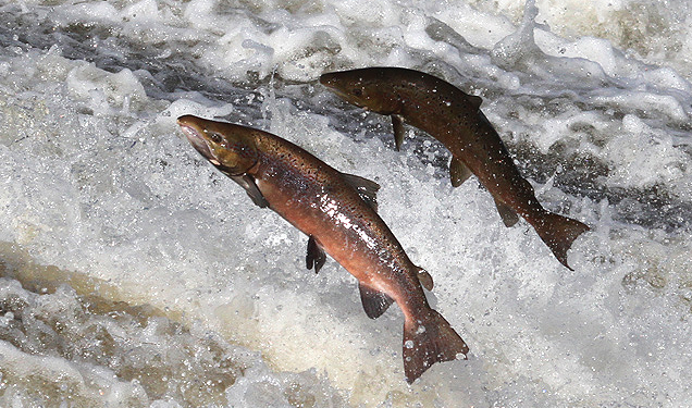 "Image: Incompetent California government kills 72,000 baby Salmon due to a ""faulty wire"""