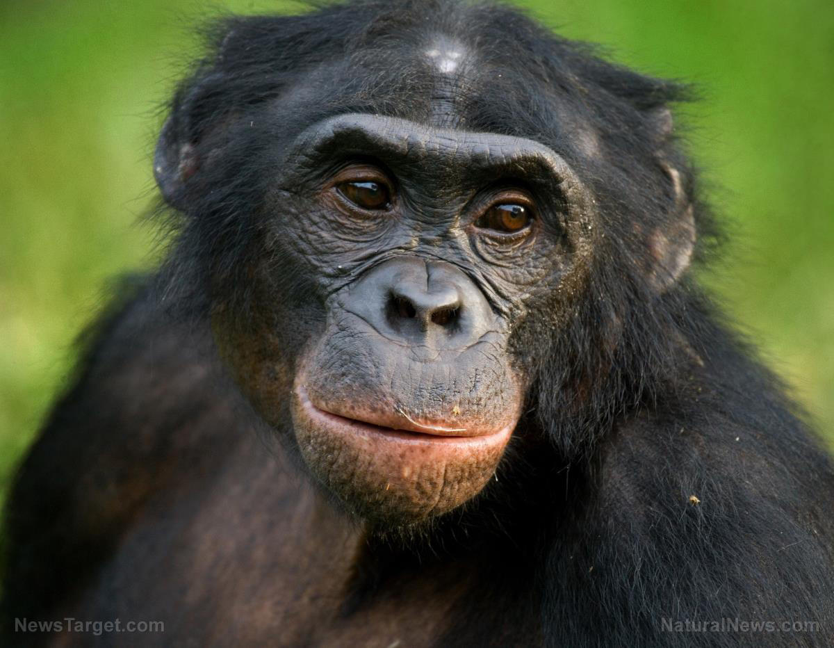 "Image: Amazing apes: Great apes can ""read minds"" to help people out"
