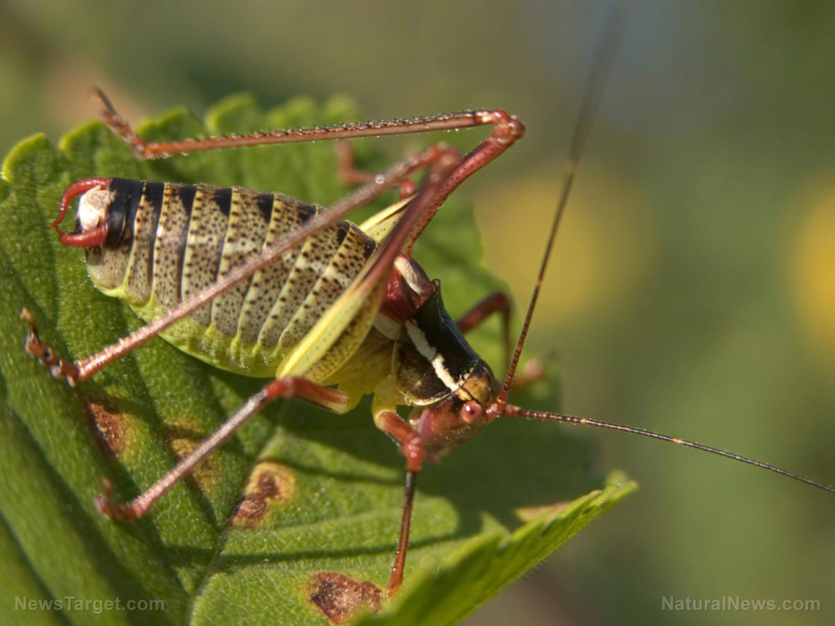 Natural Food For Crickets
