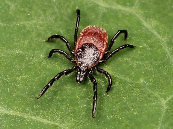 Image: Revolutionary diagnosis: A single blood test can now detect Lyme and other tick-borne diseases