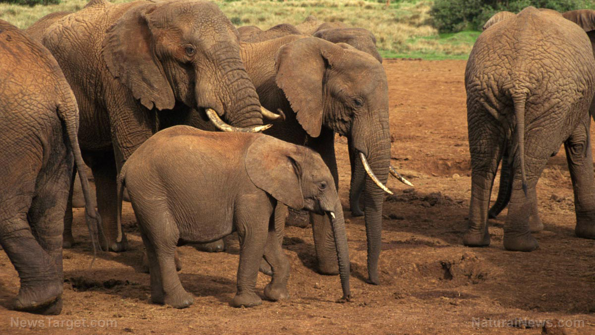 Image: Highly intelligent Elephants adopt stealth guerilla warfare tactics to stay alive by avoiding hunters