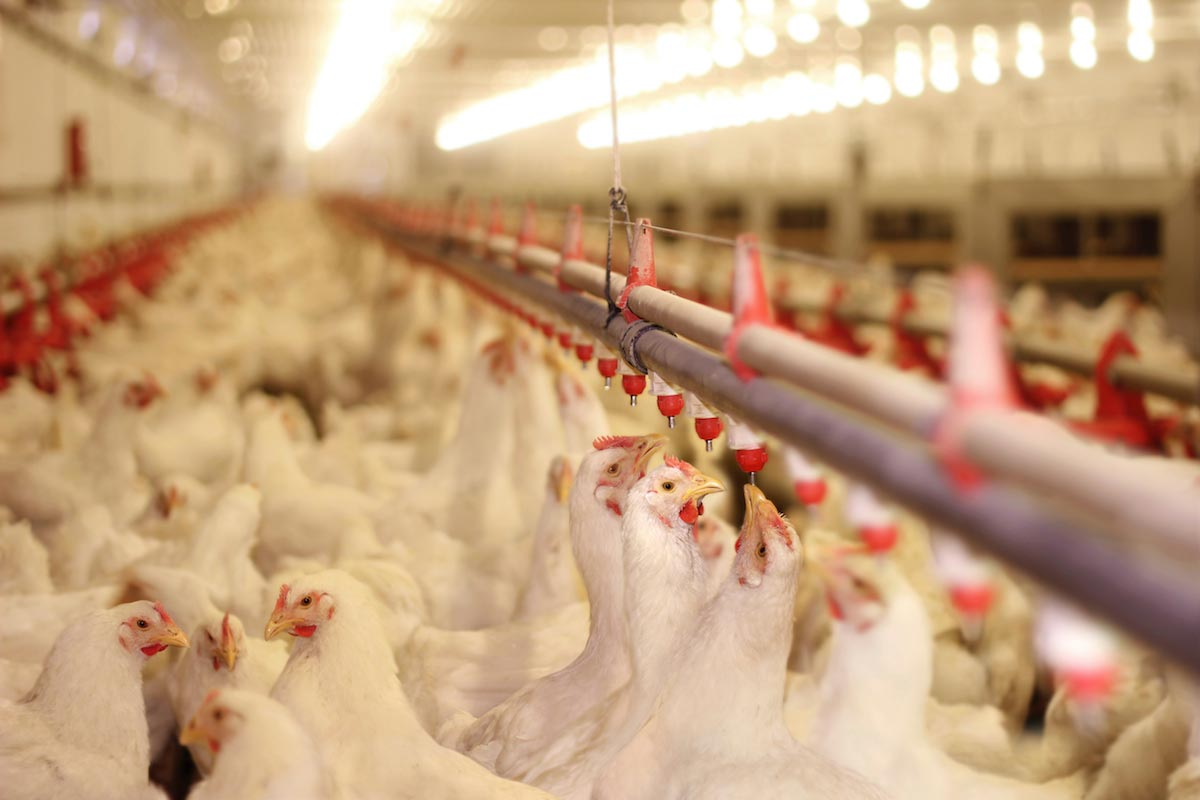 Image: Choose your meat wisely: 50% of grocery store chicken is laced with feces