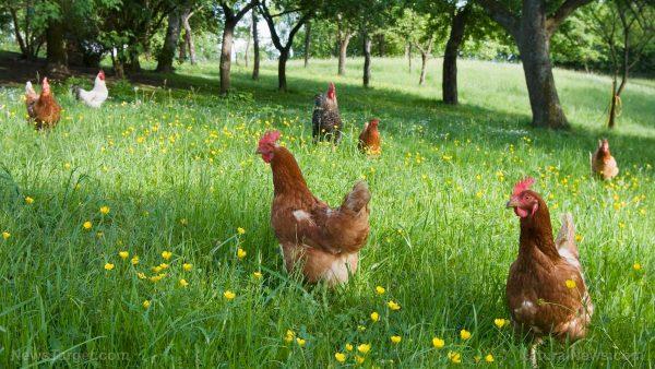 Braune Hühnerrassen