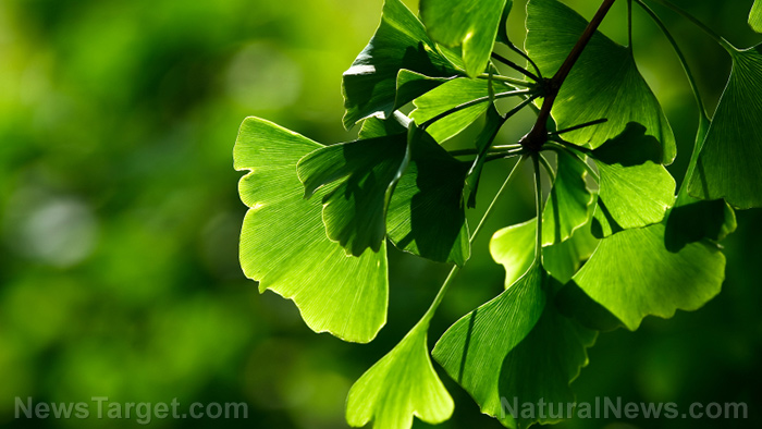 Image: Men can boost brain health and enhance performance with ginkgo