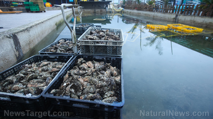 Image: Oysters found to help restore balance to aquatic ecosystems by removing pollution