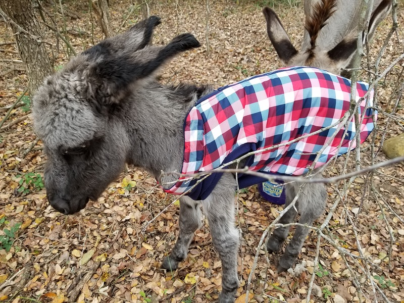 Image: How to protect a newborn baby donkey in freezing weather (PHOTOS)
