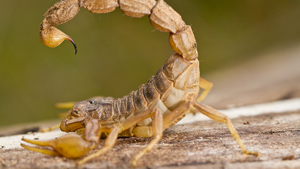 Image: Scorpion venom: A natural remedy for rheumatoid arthritis?